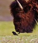 el bufalo y el pajaro