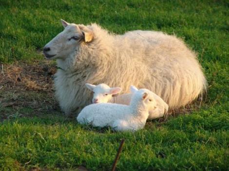 oveja corderos